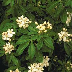 Mexican Orange Blossom Choisya ternata Item 2435 USDA Zone: 7-10 shop.monrovia.com
