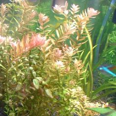AQUAPLANTASMX - Rotala Rotundifolia (X3) - Plantas