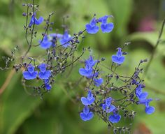 Salvia sagittata-- hm, says sun, but on the shade list... I want it!