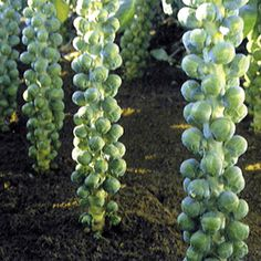 Brussels sprouts, never have grown them but would love to as we love to eat them!
