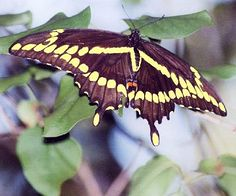 Giant Swallowtail- cats eat rue, citrus adult get nectar from butterfly bush, coneflower, and sunflower