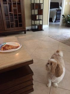 Shih Tzu love pizza!