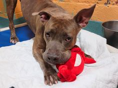SAFE --- SUPER URGENT 11/30/14 Brooklyn Center -P  My name is LAIGAR. My Animal ID # is A1020671. I am a spayed female br brindle pit bull mix. The shelter thinks I am about 2 YEARS   I came in the shelter as a OWNER SUR on 11/14/2014 from NY 11211, owner surrender reason stated was LLORDPRIVA.   Main Thread:  https://www.facebook.com/photo.php?fbid=912429625436584%2F
