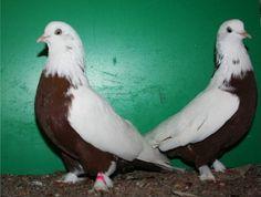 Tumbler Pigeons, Pigeons For Sale, Pigeon Breeds, Pakistan, Birds, Fancy, Animals, House Plants Decor, House Decorations