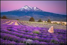 A lavender farm looking out over Mt. Shasta in Northern California.