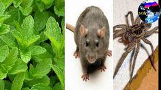 Si vous avez cette plante chez vous, vous ne verrez plus jamais de rats,...
