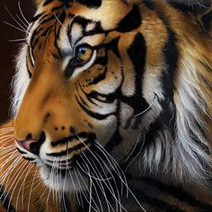 jurek zamoyski art | ... Tiger Profile Painting - Sumatran Tiger Profile Fine Art Print
