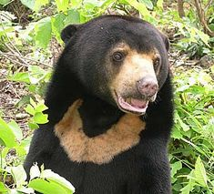 "Sun bear - photo from factzoo;  ""Legend has it that the bib-shaped patch on the sun bear's chest is representative of the rising sun. The ... sun bear is the smallest member of the bear family [about half the size of American black bears], and calls the lowland forests of Southeast Asia home. It is also known as the Malayan sun bear or the ""dog bear"" (because of the bear's stocky build, short muzzle, and small ears)."""