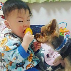 Haha😂凛くんすごい顔😆アンちゃん🐶に取られまいと必死(笑)💓💕 #yorkshireterrier #yorkie #yorkshire #yorkelife #yorkieworld #yorkienation #yorkielovers #yorkiesofinstagram #terrier #doggy #cuteyorkie #dog #dogstagram #pet #yorkielove #instdog #わんこ #愛犬 #犬 #いぬ #ドッグ #ヨークシャーテリア #ヨーキー #ペット #赤ちゃん #赤ちゃんと犬 #baby #babyanddog #犬と子供 #生後10ヶ月