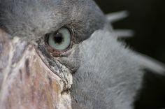 Fotografía Eye of the Shoe Bill por Chris Willson en Ueno Zoo, Shoebill Stork, Beautiful Birds, Close Up, Stock Photos, Eyes, Image, Study, Animaux