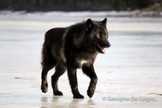 """1,299 curtidas, 6 comentários - Send us your wolfdog pictures (@lovewolfdogscommunity_) no Instagram: """"hanging ouside Do you like that fur colour? follow @thewolfsavers and @lovewolfcommunity_ for…"""""""