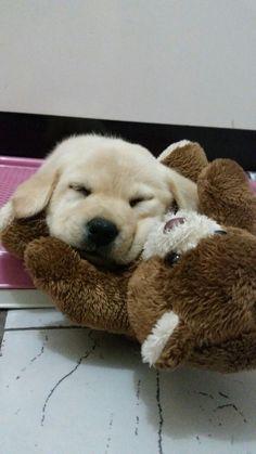 Labrador, filhote... Jujuba linda. Amooo