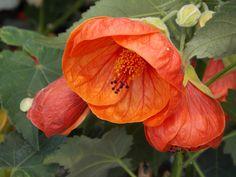 Red Abultilon flower.