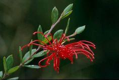 My red page of art Australian Garden Design, Australian Native Garden, Red Pages, Unusual Plants, Plant Design, Native Plants, Red Flowers, My Favorite Color, Garden Plants
