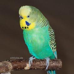 Deutschsprachige Wellensittich-Seite:  #wellensittich #wellensittiche Parrot, Animals, Budgies, Parrot Bird, Animaux, Parrots, Animal, Animales, Animais