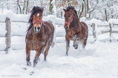 Caii în zăpadă.  #dormedia #peisaje #cai #zăpadă #românia Winter Scenery, Cai, Horses, Horse
