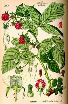 Roots 'n' Shoots: Raspberry: How to Grow – Fruit of the Month