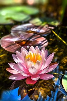 26 best waterlelies images on pinterest lotus flower good nymphaea water lily is a genus of hardy and tender aquatic plants in the family nymphaeaceae there are about 50 species in the genus mightylinksfo