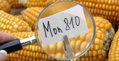 OGM: l'Italia vieta la coltivazione. Tutte le reazioni