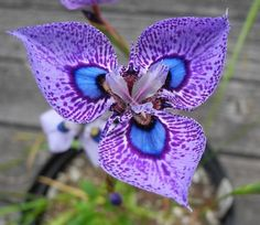 Moraea villosa For More.. http://flowerhomes.blogspot.com https://facebook.com/flowerofworld