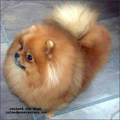pomeranian dog | photo