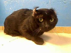 URGENT - Cat on death row - NY  KANE - ID#A0943088  This unique black american curl mix boy, 2 yrs, was surrendered by his owner at this high kill shelter. If you liked this cute ears, please act as fast as you can. He is at Brooklin Center.