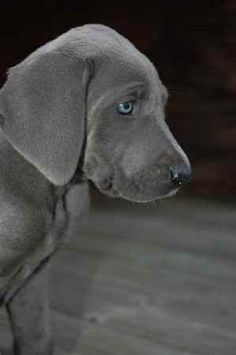 Great Weimer. Mix of Great Dane and Weimeraner. -- i don't like great danes, but I always liked this kind of dog as well. the coloring of the fur and the eyes is wonderful.