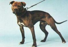 STB Dylan 2xW #pitbull #gamedog #adba
