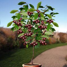Standard Cherry Sunburst - 1 tree Buy online order yours now