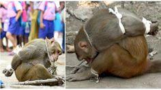 """""""O Grito do Bicho"""": Macaco indefeso é amarrado e humilhado em público ..."""