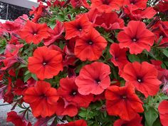 Violettes cornues en pot en jardini re en suspension - Faire pousser citronnier ...