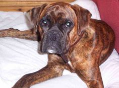 boxer dog photo | Boxer Dogs | Boxer Dog Puppies