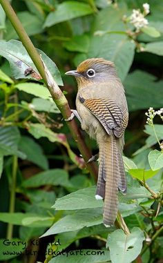 Spectacled barwing ( beautiful amazing