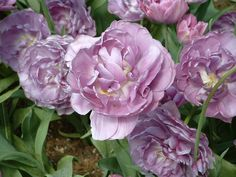 Tulip at Van Lierop Bulb Farm, Puyallup, WA
