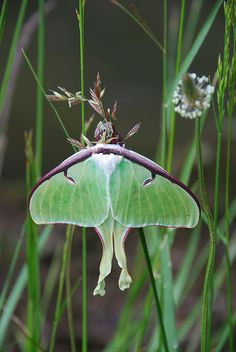 I dreamed I had found cicadas on the floor at my parents' house and was trying to get them outside by trapping them in glass bowls -- then I realized that one of them was actually a luna moth emerging from a cocoon. I took it outside and it rested against my neck until it was ready to fly away.