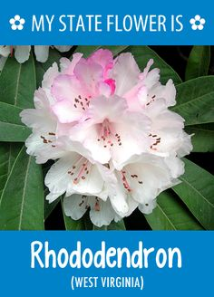 West Virginia's state flower is the Rhododendron.