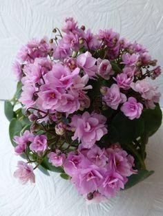 !!! Розовый Дым или Chanta-iana (небольшая детка и крепкая детка, очень разные)