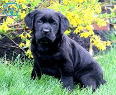 Avalon | Labrador Retriever - Black Puppy For Sale | Keystone Puppies Black Puppy, Black Lab Puppies, Black Labrador Retriever, Puppies For Sale, Doggies, Cute Animals, Little Puppies, Pretty Animals, Black Labrador Puppies