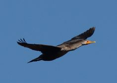 A double-crested cormorant sails through the skies above Caw Caw Interpretive Center in Ravenel, South Carolina.