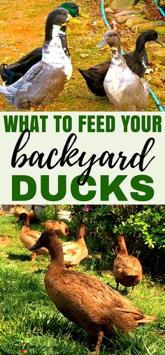 Raising Ducks: Are you new to raising backyard ducks and asking yourself what do ducks eat? Learn about the diet of the domestic duck and what to feed your backyard ducks to keep them happy and healthy! A few variued photos that I like Backyard Ducks, Backyard Farming, Chickens Backyard, Backyard Patio, Plants For Chickens, Backyard Poultry, Backyard Ponds, Backyard Landscaping, Chicken Feed