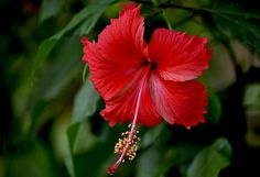 Red Hibiscus - East wall by grass and in-between plum and vitex Tropical hibiscus is fairly easy to grow in the Phoenix area. It takes the summer heat well but is damaged when temperatures drop below freezing. It flowers almost all year and is especially productive in spring.