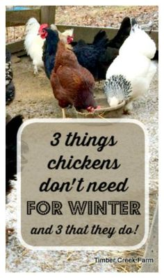 3 Things That Chickens Really Don't Need for Winter (and three that they do)
