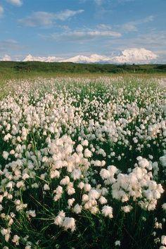 summer, blooming cottongrass, Denali National Park, Alaska