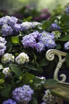 Easy To Grow Houseplants, Endless Summer Hydrangea, Perfect Plants, Live Plants, Hydrangeas, This Is Us, Flowers, Limelight Hydrangea, Royal Icing Flowers