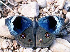 Junonia artaxia, Tanzania