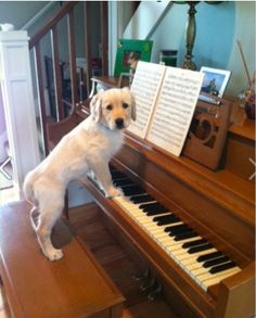 English Cream Golden Retriever Puppy playing (on) the piano.