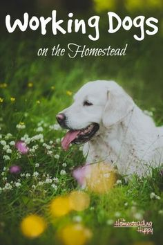 Learn more about man's best friend and their role on the homestead. The Homesteading Hippy: