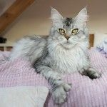 Maine Coon Poly Wackymoon Rosaline PP ns 23