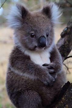 "Koala: ""Whatever is THAT heading towards me?!"""