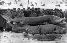"""hauntedbystorytelling: """"Sturgeon fishing on the Volga River, Pictured here are Beluga Sturgeon, which can reach immense sizes of up to 7 metres. The record Beluga Sturgeon was caught in the. Beluga Sturgeon, Sturgeon Fish, Old Images, Old Pictures, Old Photos, Retro Pictures, Retro Images, Photo Choc, River Monsters"""